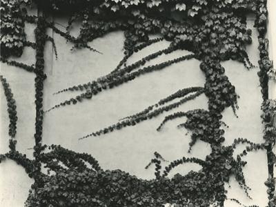 Ivy On Wall, New York, 1945 by Brett Weston