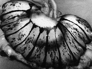 Jellyfish, California, 1975 by Brett Weston