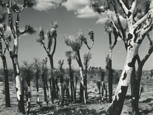 Joshua Trees, Mojave Desert, 1942 by Brett Weston
