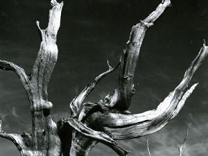 Juniper Tree, c. 1970 by Brett Weston