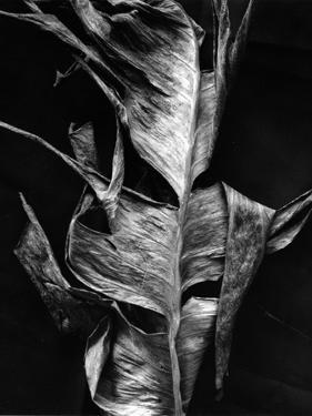 Leaf, Hawaii, c. 1980 by Brett Weston