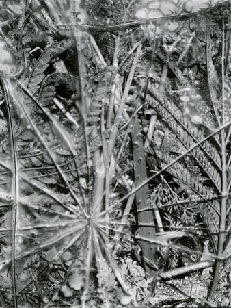 Leaves and Ice, Alaska, 1954 by Brett Weston