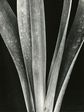 Lily Stalk, 1925 by Brett Weston