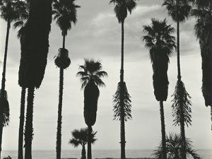 Palm Trees, Santa Barbara, California, 1958 by Brett Weston