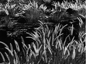 Plants and Lava, Hawaii, 1980 by Brett Weston
