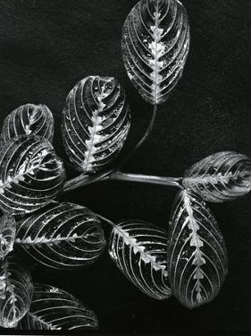 Plants and Leaves, Hawaii, c.1980 by Brett Weston