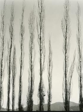 Poplars, Saline Valley, California, 1954 by Brett Weston