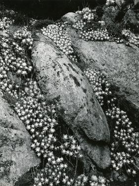 Rock and Botanicals, California, 1955 by Brett Weston