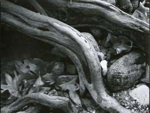 Rock, Leaves, Tree, c.1965 by Brett Weston