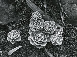 Succulents, 1943 by Brett Weston