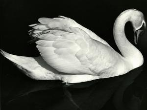 Swan, Europe, 1972 by Brett Weston