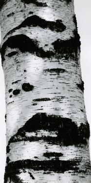 Tree Bark, 1960 by Brett Weston