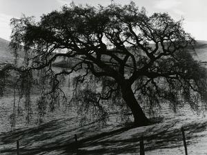 Tree, c.1985 by Brett Weston