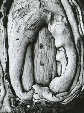Tree, Oregon, 1971 by Brett Weston