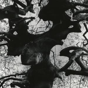 Tree, Paris, 1960 by Brett Weston