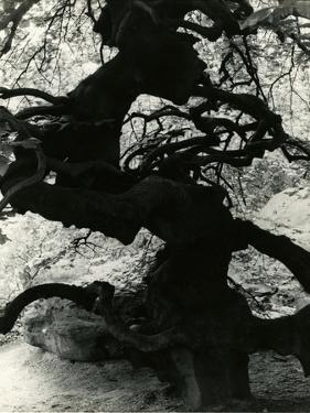 Tree, Paris, France, 1960 by Brett Weston