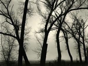 Trees, 1958 by Brett Weston