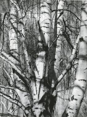 Trees, 1972 by Brett Weston
