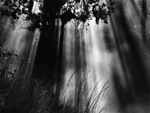 Trees and Sunlight, Hawaii, 1978 by Brett Weston