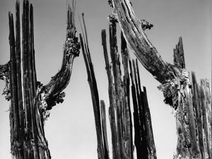 Trees, Baja, c. 1965 by Brett Weston