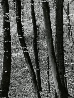 Trees, Europe, c. 1970 by Brett Weston