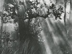 Trees, Hawaii, 1978 by Brett Weston