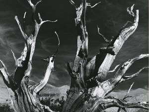 Trees, High Serra, California, 1978 by Brett Weston