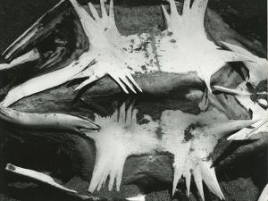 Turtle Skeleton, Baja, California, 1964 by Brett Weston