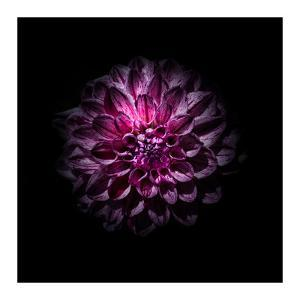 Purple Dahlia by Brian Carson
