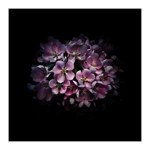 Purple Verbena by Brian Carson