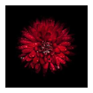 Red Mum by Brian Carson