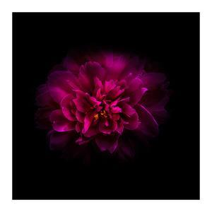 Red Peony by Brian Carson
