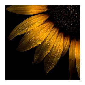 Sunflower Detail by Brian Carson