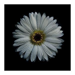 White Gerber Daisy by Brian Carson