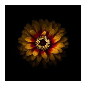 Yellow and Red Zinnia by Brian Carson