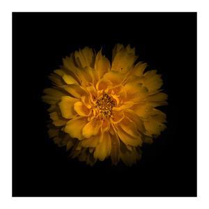 Yellow Dahlia by Brian Carson