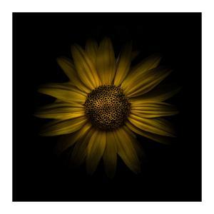 Yellow Daisy I by Brian Carson