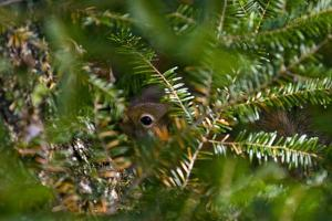 A Red Squirrel Peeks Out Through the Branches of an Evergreen Tree by Brian Gordon Green