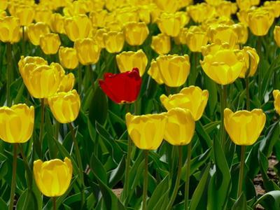 A Single Red Tulip in a Bed of Yellow Tulips by Brian Gordon Green