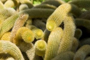 A Tangled Mound of Golden Rat Tail Cactus Spines by Brian Gordon Green