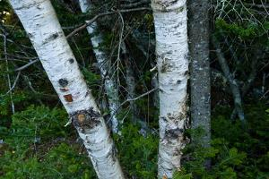 Birch Tree Trunks by Brian Gordon Green