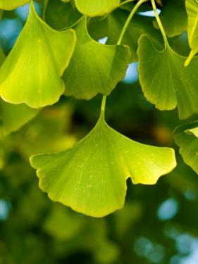 Close Up of Ginkgo Leaves by Brian Gordon Green