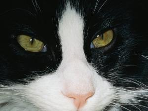 Close View of a Black and White Tabby Cat by Brian Gordon Green