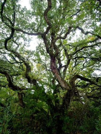 Looking Up into the Branches of a Live Oak Tree by Brian Gordon Green