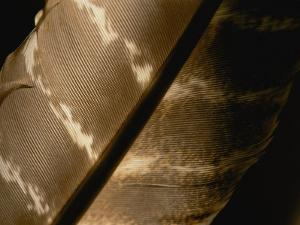 Magnified View of a Red-Tailed Hawk Feather by Brian Gordon Green