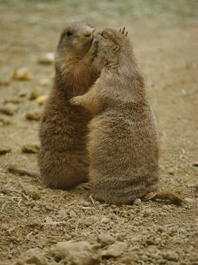 National Zoo Prairie Dogs Show Affection by Kissing by Brian Gordon Green