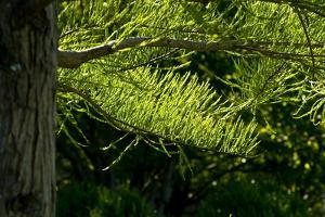 Sunlight Falls on the Green Branches of a Pond Cypress Tree by Brian Gordon Green