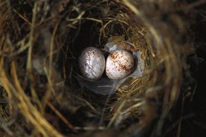 Two Carolina Wren (Thryothorus Ludovicianus),Eggs in their Nest by Brian Gordon Green