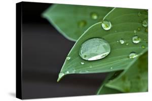 Water Droplets on a Blue Cadet Hosta Leaf by Brian Gordon Green
