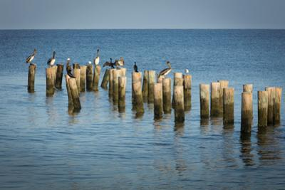 Brown Pelicans perched on old pier pilings on the Gulf of Mexico at Naples, Florida, USA by Brian Jannsen